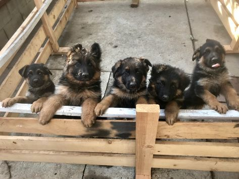 Read Message Wi Rr Com German Shepherd Puppies German Shepherd Dogs Shepherd Puppies