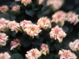 Poinsettia - white