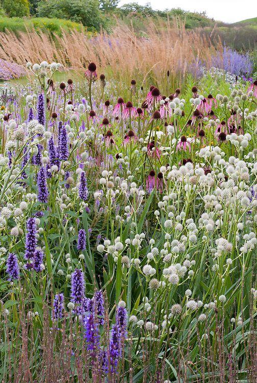 Agastache Black Adder Eryngium Yuccifolium Plant Flower