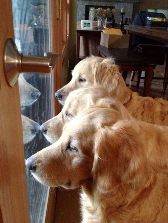 Three Goldens One Door A Triple Welcome Beautiful Dogs Dogs