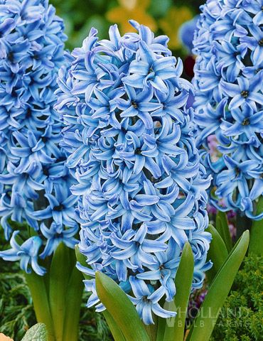 Blue Star Hyacinth Bulbs:  This sturdy-stemmed hyacinth has margnificently large blue flowers which are extremely fragrant. The 'Blue Star' Hyacinth works great when grown in pots, planting beds, or borders and will not be bothered by deer or rodents!   Perennial in Zones 4 - 8.: