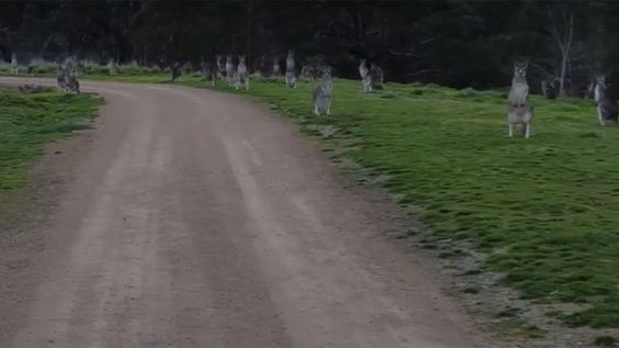 Mob of kangaroos stare down cyclist