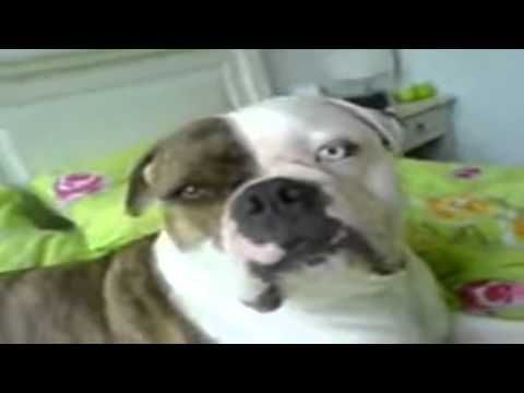 Bulldog Lovers Funny Dog American Bulldog Howl Dogs Funny Dogs