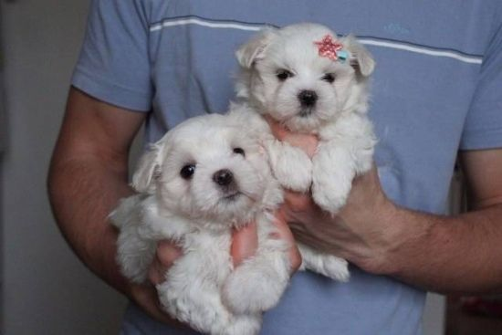 Maltese Puppies For Adoption And Rehoming 1 Puppy Adoption Maltese Puppy Baby Yorkie