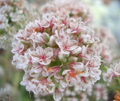 Drought tolerant shrubs and bees on pinterest - Tough perennial bloomers drought insect and pest resistant flowers ...