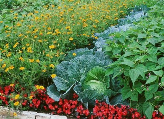 Associations au potager pour petits espaces lieux et fleur - Association de legumes au potager ...