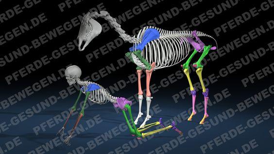 Vergleich Pferd- und Menschen- Skelett  http://shop.pferde-gesund-bewegen.de/produkt/pferdeanatomie-teil-1-das-skelett-des-pferdes-onlinekurs-preview-version/