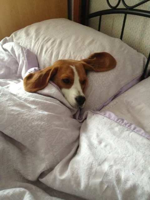 Www Ourbeagleworld Com Forums Attachments Beagle Discussion 14426