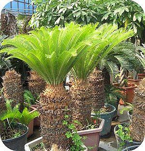 zaaien cycas revoluta palmen tropische plant valse sagopalm of cycaspalm zaden planten