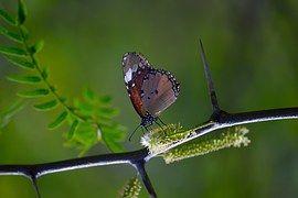 Monarchvlinder, Vlinder Op De Steel