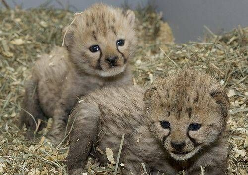 Animals, My heart and Tiger cubs on Pinterest