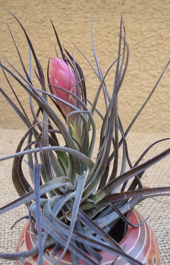 Tillandsia Stricta Midnight Air Plants. $4.95, via Etsy shop CTSairplants (I'm in love!)