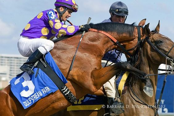 Doncha hate when that happens? An eager AWESOME BANNER before he won the Swale yesterday at @GulfstreamPark .