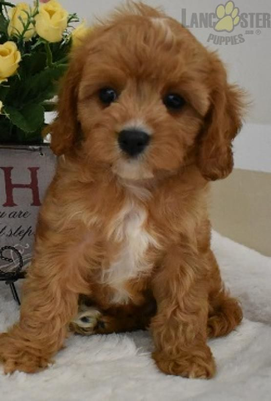 Jake Cavapoo Puppy For Sale In Millersburg Oh Lancaster