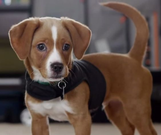 The Cheagle dog is a cross between the Beagle and the