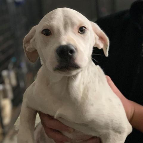 Adopt Angelica On Pitbull Terrier Island Park Bull Terrier Mix