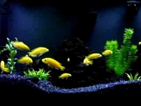 Electric Yellow Lab Cichlids Yellow Lab Cichlids Cichlid Aquarium