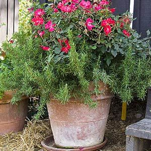 In this container we have an easy care knock out rose paired with prostrate rosemary go grow - P allen smith container gardens ...