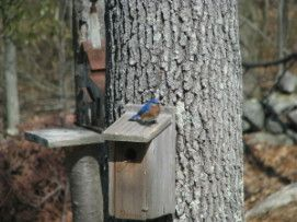 The best way to bring bluebirds to your backyard.