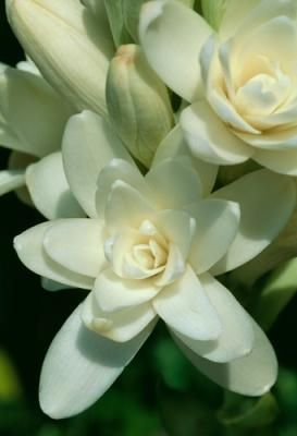 Tuberose, probably my favorite scent next to the gardenia.