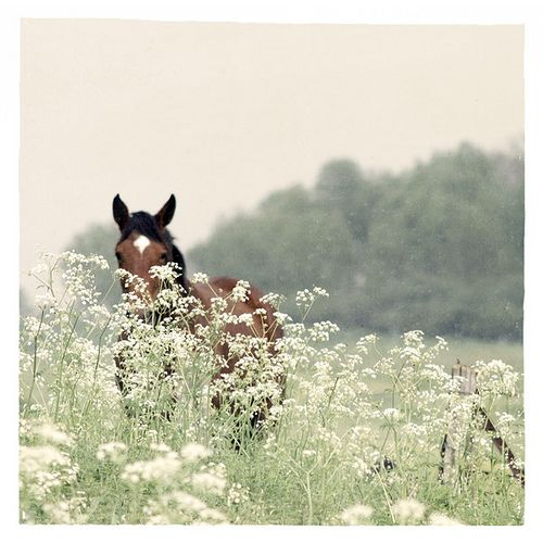 horse hides behind cow parsley