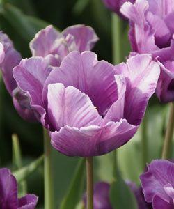 Tulipa 'Blue Parrot' - Papageien-Tulpe
