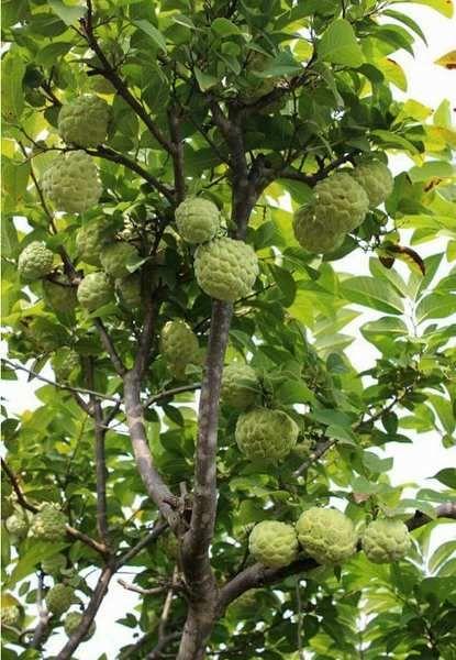 Custard Apple Tree Apple Plant Fruit Plants Fruit