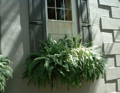 Finding Beauty - Window Boxes of Charleston, South Carolina - Swede
