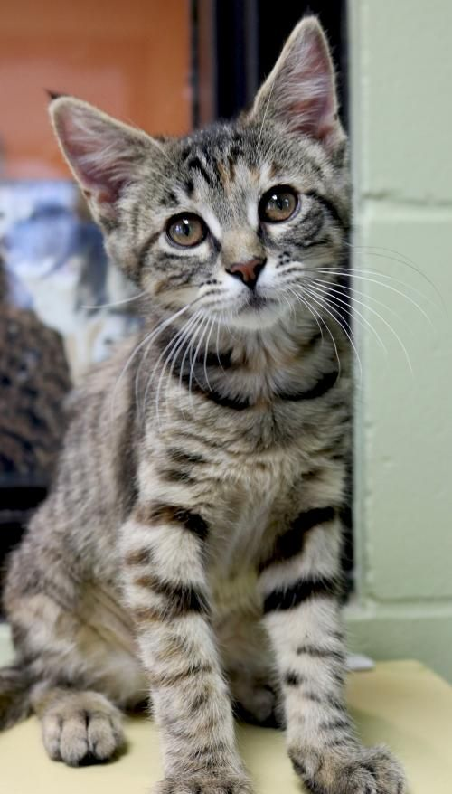 I M A 3 Month Old Spayed Female Tortabby Domestic Short Hair In 2020 Cats And Kittens Cat Adoption Feline Leukemia