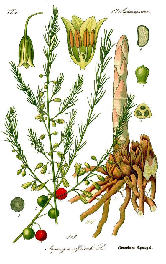 File Illustration Asparagus Officinalis0b Jpg Botanical Illustration Asparagus Plant Antique Botanical Print