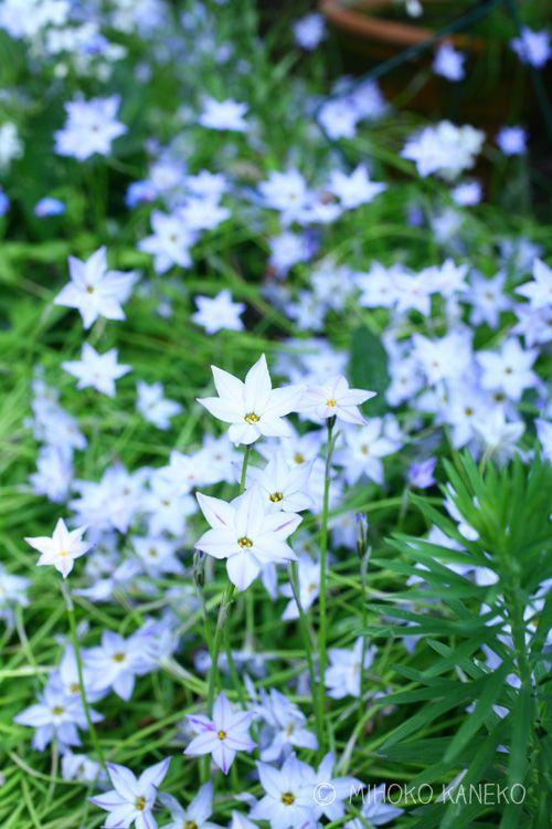 植えっぱなしでどんどん増える球根花 星型の花 ハナニラ Lovegreen ラブグリーン ハナニラ 花 花壇