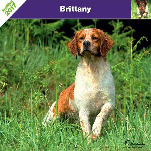 Calendrier chien 2017 - Race Epagneul Breton - Affixe Edition