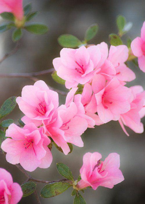 Pink Azalea Greeting Card For Sale By Parker Cunningham In 2020 Pink Azaleas Beautiful Flowers Azaleas