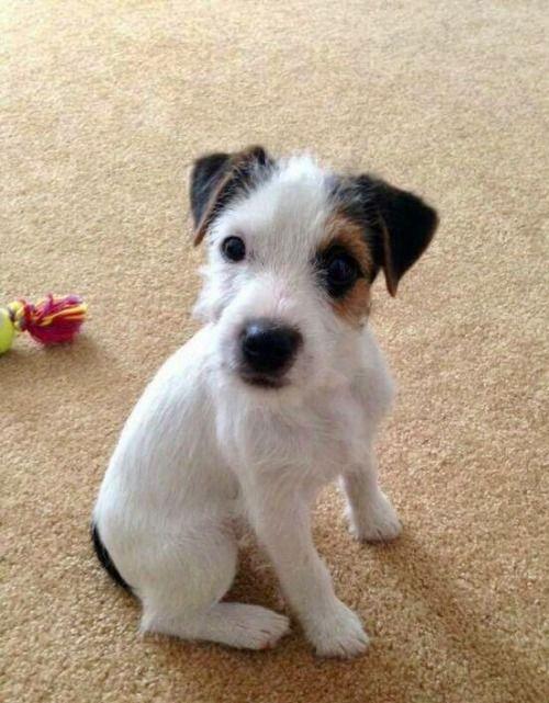 Jack Russell Terrier Jack Russell Jack Russell Terrier Jack
