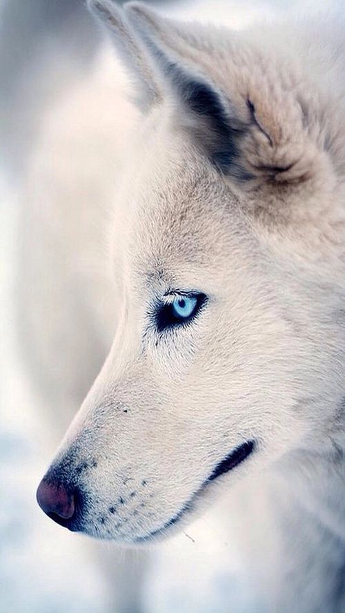 A beautiful white WOLF