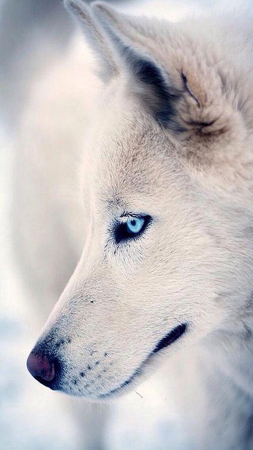 A beautiful white WOLF