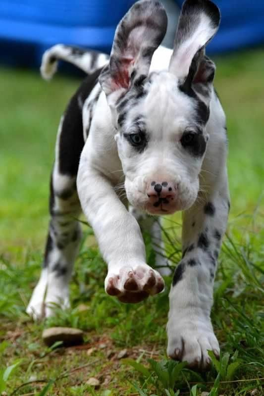 Great Screen Dogs And Puppies Great Dane Popular Perform You