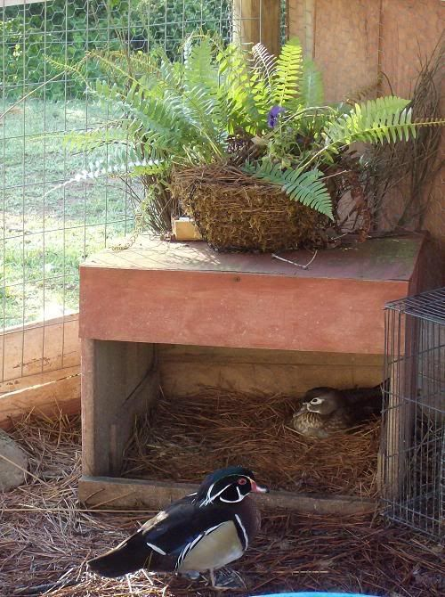 Chicken duck coop pen chicken coops pinterest nests for How to build a duck shelter