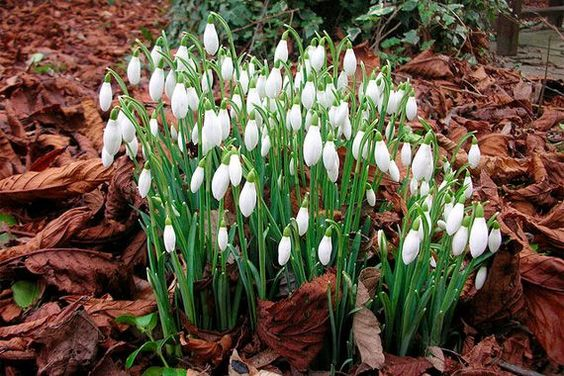 Winter Plants: Snowdrop (Galanthus elwesii) When most other plants are hiding away from winter's chill, snowdrop is eager to get going. One of the first blossoms of late winter, snowdrops are still shy, preferring to hide away in rock gardens and under taller shrubs. Plant these bulbs in fall.