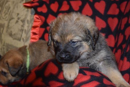 Litter Of 9 Chesapeake Bay Retriever Rottweiler Mix Puppies For