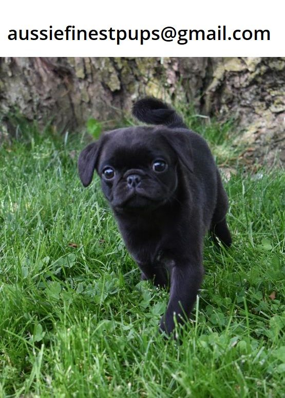 Pugpuppies For Sale In Geelong Victoria In 2020 Pug Puppies For Sale Pug Puppies Pugs