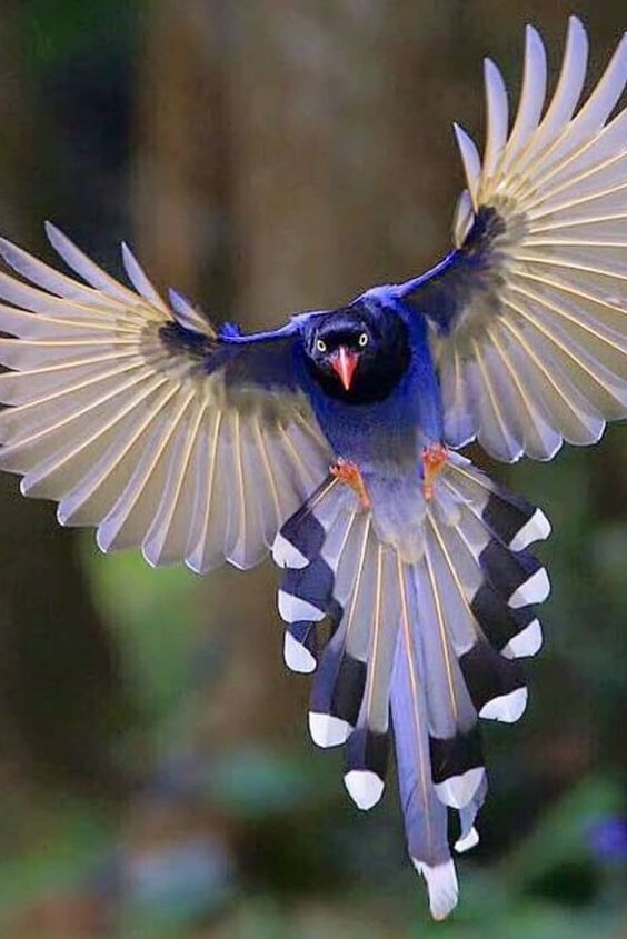 🦜The red-billed blue magpie occurs in a broad swathe from the northern parts of the Indian subcontinent, and further eastwards.ðŸ¦