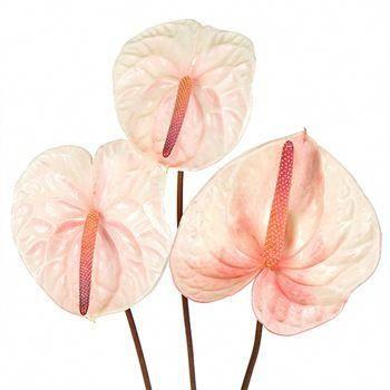 Anthurium Summer Crush Blush Tropical Flower Fiftyflowers Tropical Flowers Anthurium Plant Anthurium Flower