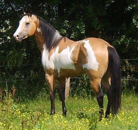 Buckskin Stallions at Stud | Buckskin Stallion Breeding ...