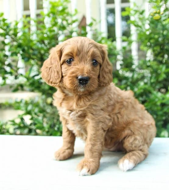 Kit Poodles Mini Puppy For Sale In Lewisburg Pa Lancaster