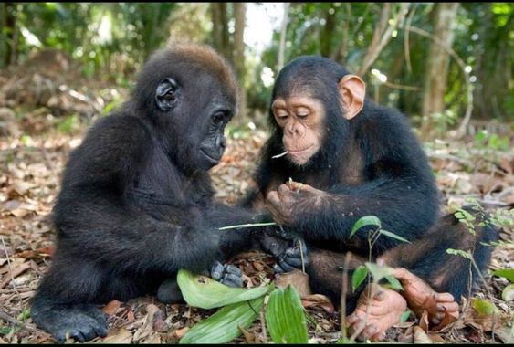 Appropriate-Username - Baby Chimp and Baby Gorilla