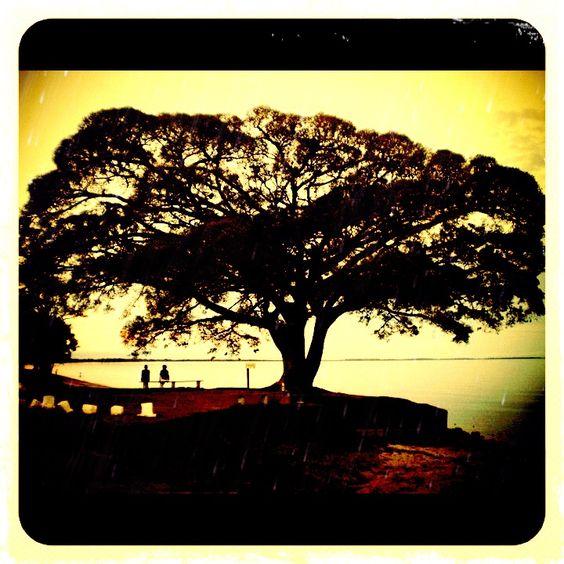 Figueira - São Lourenço do Sul