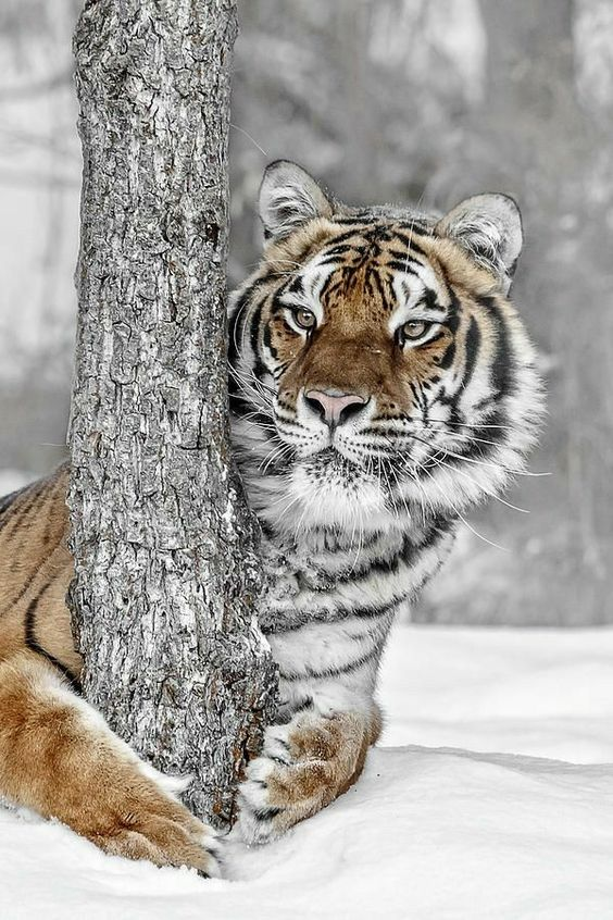 Tiger hugging tree in winter snow #adorableanimals #winterwonderland