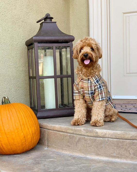 328 Likes 39 Comments Kingsley Chai Goldendoodles Kingsleythedoood On Instagram Autumn Leaves And Pumpkins Please P S Shop My