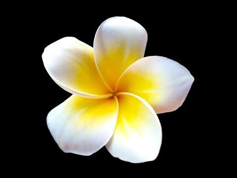 Plumeria Flower Acrylic Painting Live Tutorial Plumeria Acrylic Painting Tutorials Acrylic Painting Tips